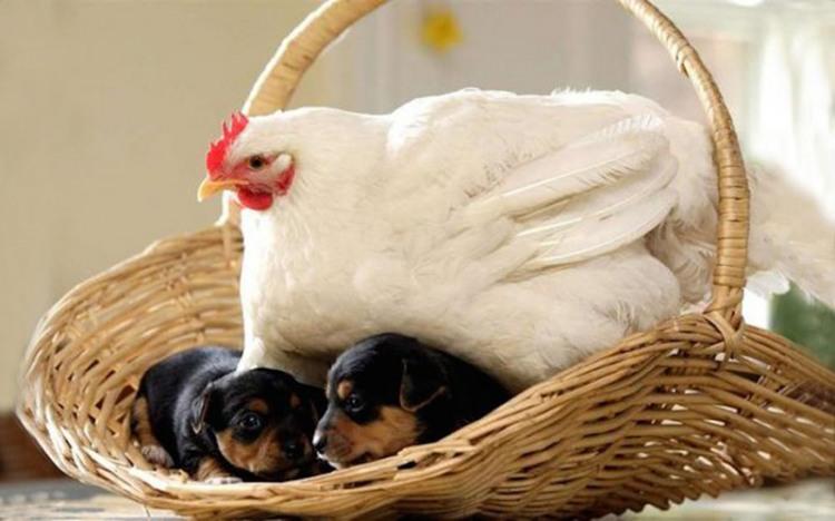 Фото прикол  про кур и собак