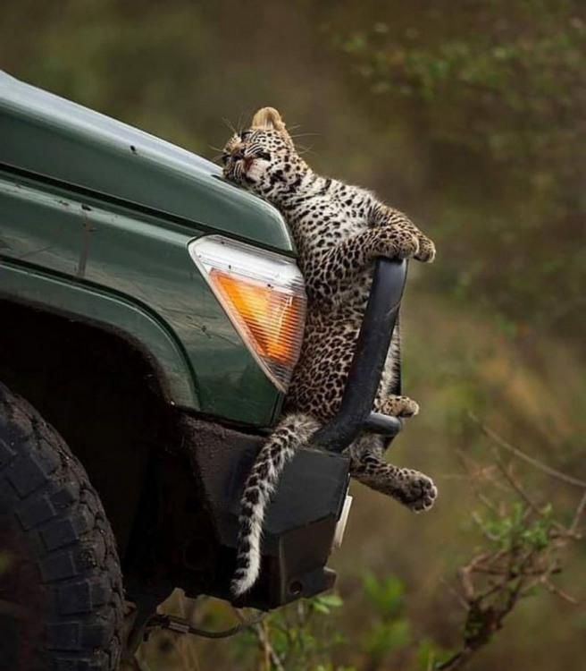Фото прикол  про леопардов