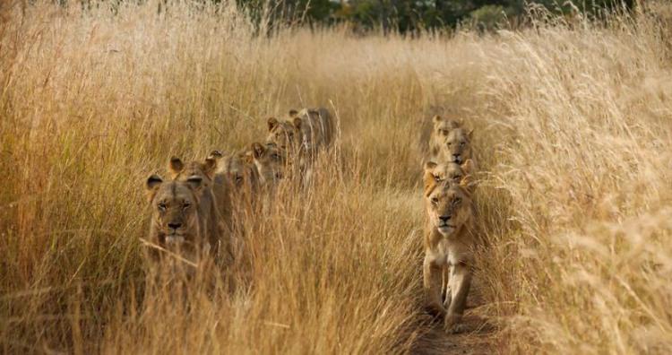 Фото прикол  про льва