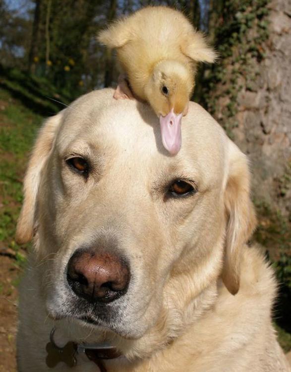 Фото прикол  про утку и собак