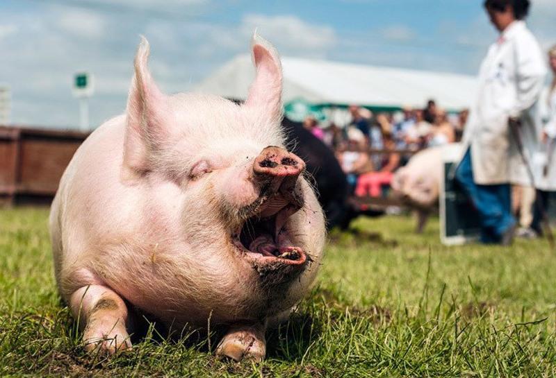 Картинки жирных свиней смешные