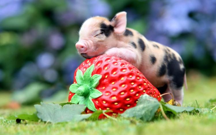 Фото прикол  про свиней и клубнику