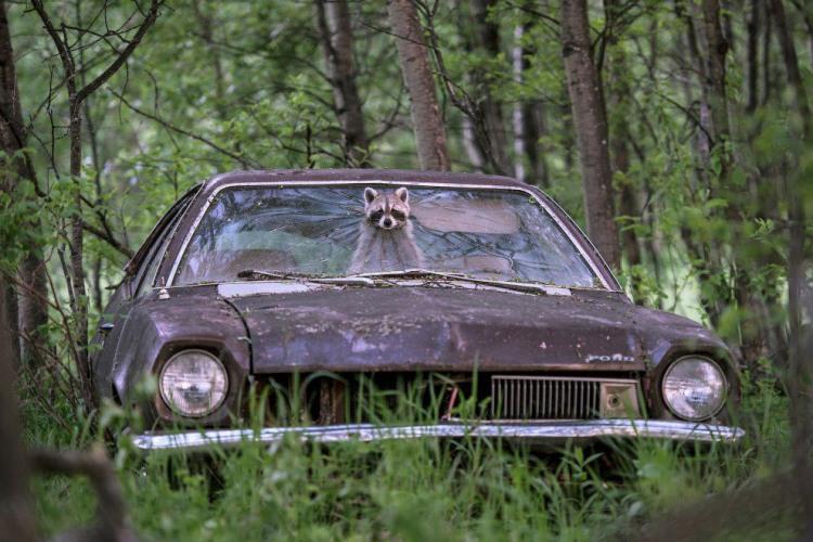 Фото прикол  про енотов и автомобили