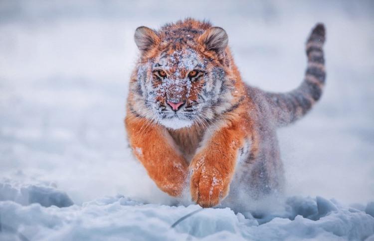 Фото прикол  про тигра и снег