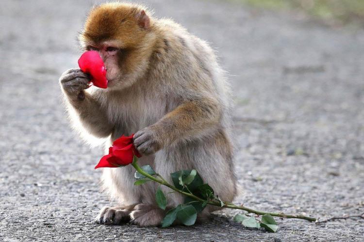 Фото прикол  про обезьян и розу